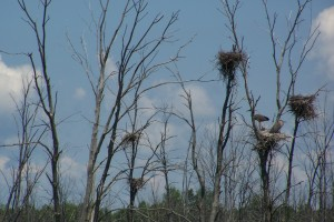 heron nests Coldwater ON