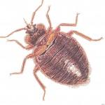 bedbug-150x150