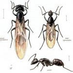 carpenter_ant_2-150x150