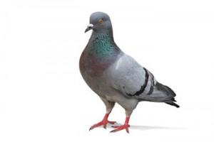 pigeon-300x200
