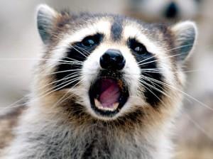 alg-resize-raccoon-jpg