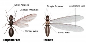 Carpenter Ant VS. Termite