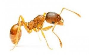 Pharoh ants